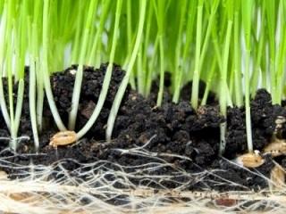 germinazione-di-grano-nel-suolo