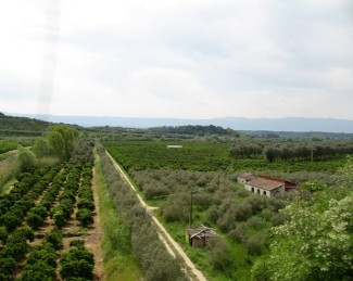 Piana_di_Gioia_Tauro_-_Agrumeti_vicino_Rosarno