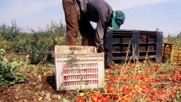 Digiuniamo dai pomodori. Non mangiamone per un giorno, in memoria di Mohamed