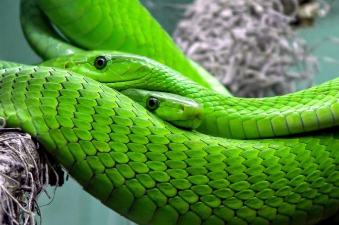 snake-mamba-green-mamba-toxic-38268-1
