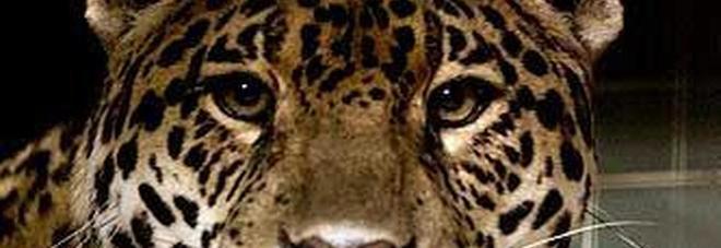 ATT - cuccioli - Giaguaro