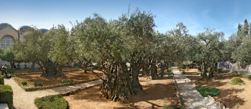 ulivi-getsemani