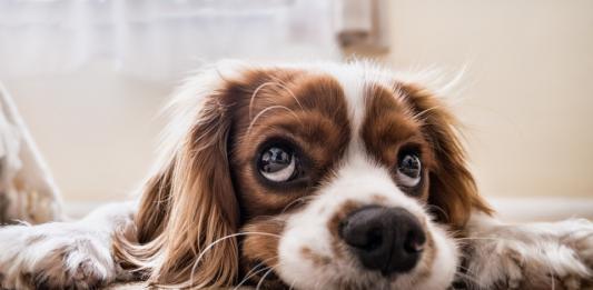 San Rocco protegge Rudolph: cucciolo sopravvive all'eutanasia