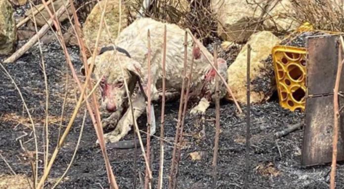 Il cane pastore che sta emozionando il mondo del web